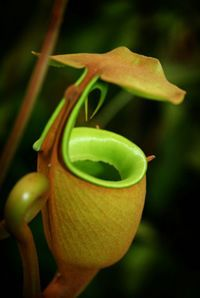 Pitcher Plant: (Carnivorous) Did you know that pitcher plants could also live in not-so-liveable marshes and peat bogs? They are called marsh or Heliamphora pitchers and they live inside the secluded forests of Latin America.