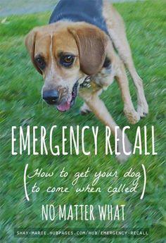 Formación Recall emergencia   Cómo llegar a su perro por venir cuando se le llama (no importa qué)