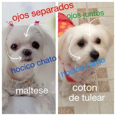 Notable differences between Coton de Tulear and maltese
