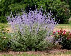PEROVSKIA atriplicifolia 'Little Spire' - Perovskia, farve: blå/gråt løv/duftende, lysforhold: sol, højde: 50 cm, blomstring: juli - september, velegnet til snit.