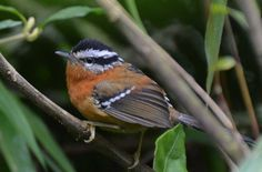 The Bertoni's antbird (Drymophila rubricollis) is a species of bird in the Thamnophilidae family. It is found in Atlantic Forest in south-eastern Brazil, eastern Paraguay and far north-eastern Argentina (Misiones). It was formerly considered conspecific with the very similar ferruginous antbird.