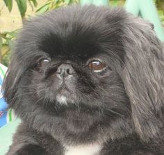 Myrtle is a black peke with a big personality