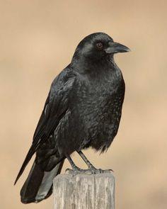 American Crow | National Audubon Society Birds