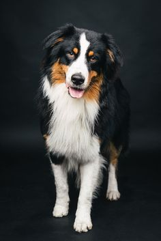 Australien Shepard Sparky #pfotentick #hundefotografie # studio #shooting #dog #photography #aussie #australienshepard
