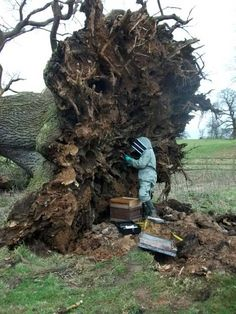 A 200 year-old oak tree fell in Jacob Smith Park in Scriven, near Knaresborough and has revealed a nest of over 6,000 honeybees.
