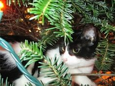 My friends cat Avery in a Christmas tree