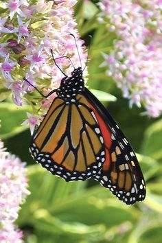 Monarch Butterfly By Henrietta Oke**