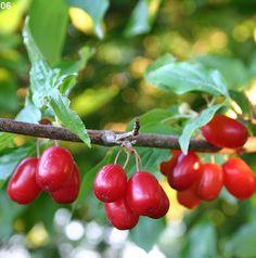 Permaculture Plants: Cornelian Cherry - AgriHunt