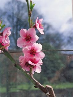 Protect Delicate Fruit Blooms from Frost in Spring