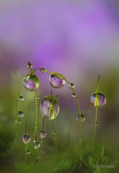 dewdrops on moss with lilac primrose reflection - photograph by lyn evans - pinned by getbitten.com