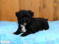 Choodle Puppy for Sale in Pennsylvania Poodle Mix Puppies, Puppies For Sale, Pennsylvania, Dogs, Animals, Animales, Animaux, Pet Dogs, Doggies
