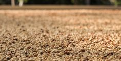 Kona Coffee almost ready for roasting Kona Coffee, Continental Breakfast, Almost Ready, Fruit Trees