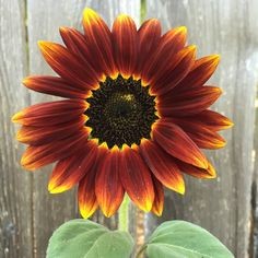 Wecaught up withStephanie Pressler of Opa's Gardenand she shared hertop picks for easy-care sunflowers. Take a look at thissumptuousautumn color palette and you may well be tempted to turn yo...