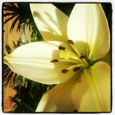 Acoustic Calla Lily white