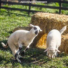Las ovejas también tienen infancia.  Como a las corderitas les gusta mucho correr y saltar les hicimos una pequeña torre de fardos de paja para que pudieran escalar y la verdad les ha encantado! Se suben arriba bajan de un salto y vuelven a subir una y otra vez. Corren lejos se acercan y de un salto llegan hasta arriba para volver a bajar.   Por supuesto que las ovejas también tienen infancia y la es una época llena de juegos de curiosidad y de aventuras que ellas disfrutan al máximo!