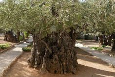 Ancient Olive Tree in Jerusalem, Israel! The root systems of these ancient trees date back over 2,000 years!!