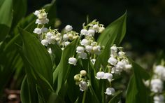 """The Lily of the Valley~ Also called """"Lady's tears"""" due to appearance. They're just so little and cute :3"""