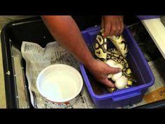 Henry Piorun Reptiles - Pastel to Banana Ball Python and Pastel Het Genetic Stripe - Henry Piorun reviewing eggs - YouTube
