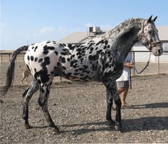 """Favorite Horse of all time!!! Wap Spotted """"Teddy"""" RIP<3"""