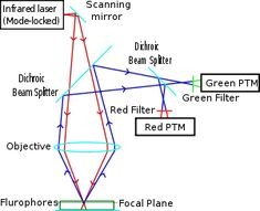 Diagram of a two-photon excitation microscope en - Two-photon excitation microscopy - Wikipedia Biology Art, Red Filter, T Cell, Image T, Clinic, Filters, Insight, Diagram, Science