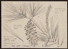 Pine cone Maine 1950-75 AAA Smithsonian