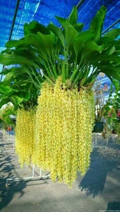 Unusual Flowers, Unusual Plants, Rare Flowers, Exotic Plants, Cool Plants, Amazing Flowers, Beautiful Flowers, Orquideas Cymbidium, Orchid House