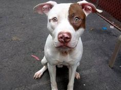 TO BE DESTROYED 3/10/14  Manhattan Center    My name is RILEY A/K/A BLUEBLOOD. My Animal ID # is A0993194.  I am a male white and brown pit bull mix. The shelter thinks I am about 2 YEARS    I came in the shelter as a STRAY on 03/05/2014