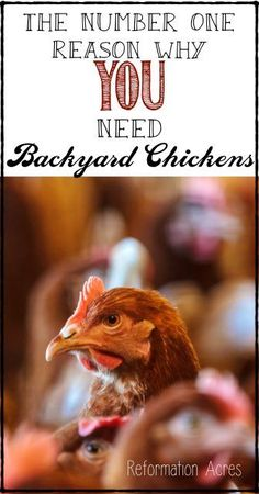 You need a few chickens in your backyard... here's the number one reason why.  | www.reformationacres.com