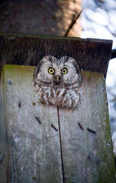 Tengmalm´s Owl !