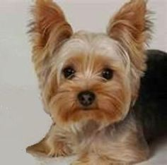 Kelsey is an adoptable Yorkshire Terrier Yorkie Dog in Saint Louis, MO. pPLEASE NOTE: We can not respond to emails that are not sent to the email address (Barbs), listed below. PLEASE READ ALL Inf...