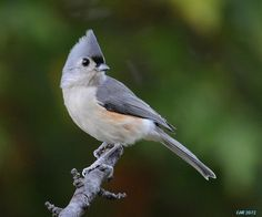 what does a female titmouse look like - Google Search