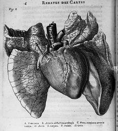 Descartes. [Coeur et poumon] - De homine figuris.