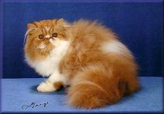 Persian Cat References|Persian kitten breeder|Pelaqita Persian cats