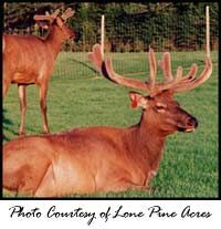 So you want to be an elk farmer? North American Elk Breeders Association page