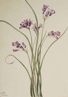 Mary Vaux Walcott, 1860-1940. Wild Hyacinth (Brodiaea pulchella), 1927, watercolor on paper,  9 7/8 x 6 7/8 in. (25.2 x 17.6 cm). Smithsonian American Art Museum.