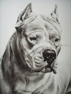 .^. Dogue argentin Pencil Drawings Of Animals, Realistic Pencil Drawings, Animal Sketches, Tattoo Design Drawings, Doodle Drawings, Pitbull Drawing, Pitbull Pictures, Bear Art, Dog Portraits