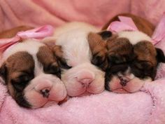 Litter of 8 Boxer puppies for sale in DENVER, CO. ADN