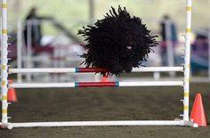 Puli, the Micro Flying Mop Dog. Mop Dog, Hungarian Dog, Puli Dog, Komondor, Perfectly Timed Photos, Dog List, Tier Fotos, Dog Agility, Nature
