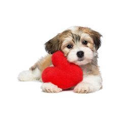 Lover Valentine Havanese puppy ❤ liked on Polyvore featuring dogs, animals, pets, fillers and hearts