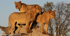 Kings of all they survey: sub-adult lion cubs in the Linyanti, seen on a Private Journey with guide Richard Avalino Lion Cub, Predator, Big Cats, Safari, Journey, Explore, Cubs, Puppies, Bear Cubs