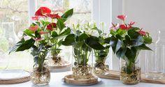 Smart Ways To Grow Hydroponic Plants For Beginners At Home Impressive Indoor Water Garden Ideas For Best Indoor Garden Solution – DEC… DIY tips: een anthurium op water Bare-rooted Anthurium growing in water. Anthurium culture on water - Bakker