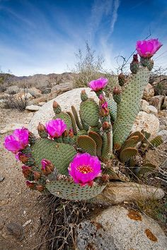 Anza-borrego Desert Photograph - Cactus Blooms by Peter Tellone Exotic Plants, Exotic Flowers, Beautiful Flowers, Cacti And Succulents, Planting Succulents, Planting Flowers, Cacti Garden, Desert Flowers, Desert Plants