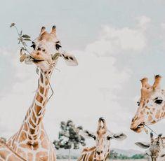 giraffe - For the Design Cute Creatures, Beautiful Creatures, Animals Beautiful, Cute Baby Animals, Animals And Pets, Funny Animals, Animals Photos, Wild Animals, Safari Animals