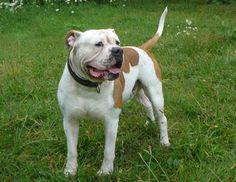 Amerikai bulldog - részletes áttekintést a fajta (+ 30 fotó)