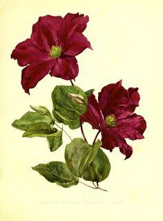"Clematis 'Madame Edouard André' - Botanical illustration from ""Flora and Sylva"" vol. 1 (1903)"