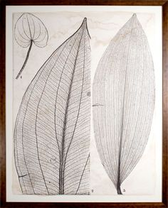 Berula Charcoal Microscopic Leaves 2 from Natural Curiosities.