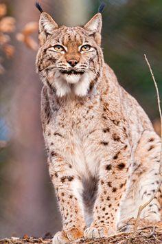 "wild-diary: ""Lynx | Tambako """
