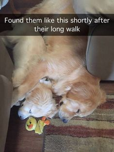 15 Funny Golden Retriever Memes That Will Make You Smile Funny Animal Fails, Cute Funny Animals, Animal Memes, Funny Dogs, Silly Dogs, Cat And Dog Videos, Funny Animal Videos, Funny Animal Pictures, Cute Puppies