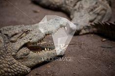 Jacarés/Alligators by Dina – Moderimage