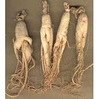 GINSENG - Panax ginseng Ginseng chino o Ginseng es una planta pequeña herbacea de la familia de las Araliaceae, la raíz de la cual se utiliza tradicionalmente en la medicina china. Tiene las hojas divididas en 5 lóbulos. Las flores son de color púrpura y se disponen en umbela. Los frutos son dos drupas. La raíz es carnosa y gruesa y con el tiempo, como ocurre con otras raíces, entre ellas la mandrágora, puede adoptar una forma que recuerda a la figura humana.